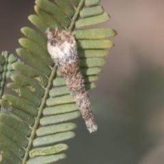 Lepidoscia (genus) (Unidentified cone case moth) at Bruce, ACT - 27 Sep 2021 by AlisonMilton