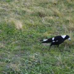Gymnorhina tibicen (Australian Magpie) at Gungahlin, ACT - 14 Sep 2021 by ClubFED