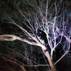 Trichosurus vulpecula (Common Brushtail Possum) at Belconnen, ACT - 28 Sep 2021 by JoeG
