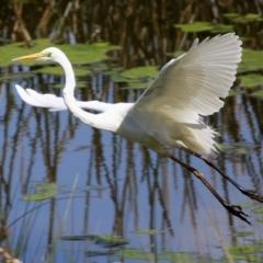Ardea alba (Great Egret) at Monash, ACT - 28 Sep 2021 by RodDeb