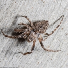 Araneinae (subfamily) (Orb weaver) at Downer, ACT - 28 Sep 2021 by Roger