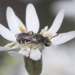 Lasioglossum (Chilalictus) sp. (genus & subgenus) (Halictid bee) at Bruce, ACT - 27 Sep 2021 by AlisonMilton