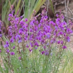 Swainsona recta (Small Purple Pea) at Tralee, NSW - 28 Sep 2021 by SandraH