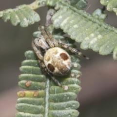 Araneus sp. (Orb Weaver) at Bruce, ACT - 27 Sep 2021 by AlisonMilton