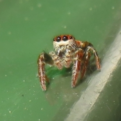 Unidentified Jumping & peacock spider (Salticidae) (TBC) at Flynn, ACT - 28 Sep 2021 by Christine