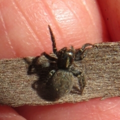 Unidentified Jumping & peacock spider (Salticidae) (TBC) at Hall, ACT - 28 Sep 2021 by Christine