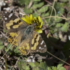 Vanessa kershawi (Australian Painted Lady) at Bruce, ACT - 27 Sep 2021 by AlisonMilton