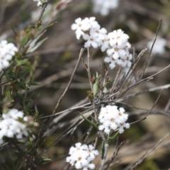Leucopogon virgatus (Common Beard-heath) at Bruce, ACT - 27 Sep 2021 by AlisonMilton