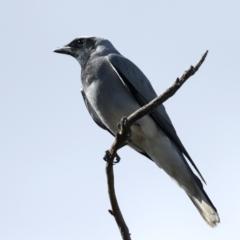 Coracina novaehollandiae (Black-faced Cuckooshrike) at Majura, ACT - 28 Sep 2021 by jbromilow50