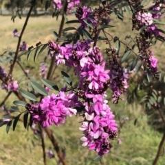 Indigofera australis subsp. australis (Australian Indigo) at Kambah, ACT - 28 Sep 2021 by kattykat