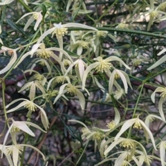 Clematis leptophylla (Small-leaf Clematis, Old Man's Beard) at O'Connor, ACT - 14 Sep 2021 by rossleetabak