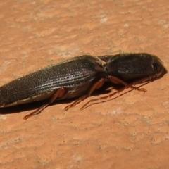 Conoderus sp. (genus) (Click beetle) at Flynn, ACT - 28 Sep 2021 by Christine