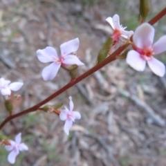 Stylidium graminifolium (Grass Triggerplant) at Hall, ACT - 28 Sep 2021 by Christine