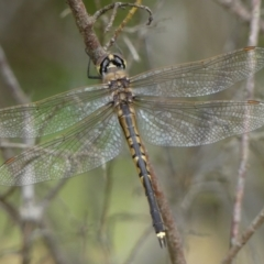 Hemicordulia tau (TBC) at Braemar, NSW - 29 Sep 2021 by Curiosity