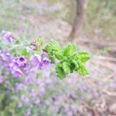 Prostanthera incana (Velvet Mint-bush) at Penrose, NSW - 30 Sep 2021 by Aussiegall