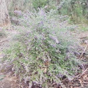 Prostanthera incana at Penrose, NSW - 30 Sep 2021