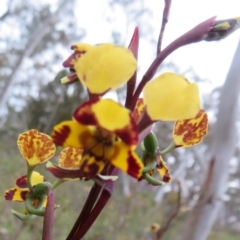 Diuris pardina (Leopard Doubletail) at Hall, ACT - 28 Sep 2021 by Christine