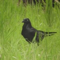 Corvus coronoides (Australian Raven) at Murrumbateman, NSW - 30 Sep 2021 by SimoneC