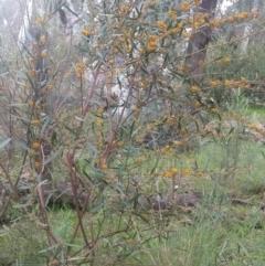 Daviesia mimosoides subsp. mimosoides at Greenleigh, NSW - 30 Sep 2021 by LyndalT