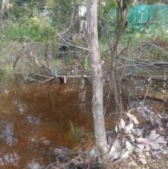 Eucalyptus sp. (A gum tree) at Greenleigh, NSW - 30 Sep 2021 by LyndalT