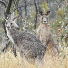 Macropus giganteus (Eastern Grey Kangaroo) at Fisher, ACT - 29 Sep 2021 by MatthewFrawley