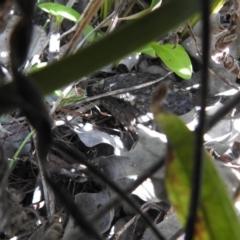 Tiliqua rugosa (Shingleback Lizard) at Carwoola, NSW - 26 Sep 2021 by Liam.m