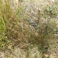 Juncus sp. (TBC) at Carwoola, NSW - 26 Sep 2021 by Liam.m