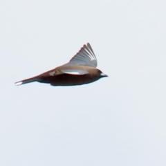 Artamus cyanopterus (Dusky Woodswallow) at Gordon, ACT - 30 Sep 2021 by RodDeb