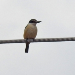 Todiramphus sanctus (Sacred Kingfisher) at Paddys River, ACT - 30 Sep 2021 by RodDeb