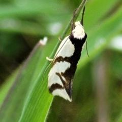 Ocystola paulinella (A Concealer Moth) at Hawker, ACT - 1 Oct 2021 by tpreston