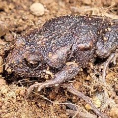 Uperoleia laevigata (Smooth Toadlet) at Hawker, ACT - 1 Oct 2021 by tpreston