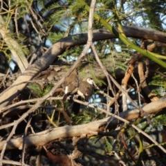 Taeniopygia bichenovii (Double-barred Finch) at Stromlo, ACT - 2 May 2021 by Miranda