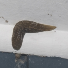 Limacus flavus (Yellow Cellar Slug) at Higgins, ACT - 29 Sep 2021 by AlisonMilton