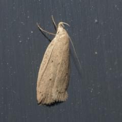Chezala privatella (A Concealer moth) at Higgins, ACT - 29 Sep 2021 by AlisonMilton