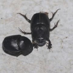 Heteronychus arator (African black beetle) at Higgins, ACT - 29 Sep 2021 by AlisonMilton