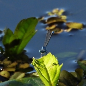 Pseudagrion microcephalum (TBC) at suppressed by TerryS