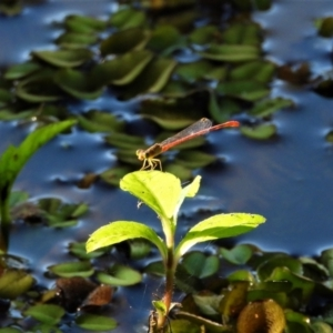 Unidentified Damselfly (Zygoptera) (TBC) at suppressed by TerryS