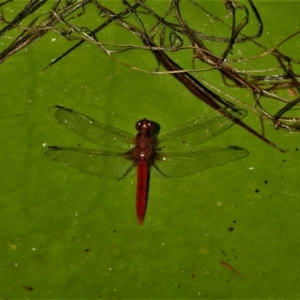 Diplacodes haematodes (TBC) at suppressed by TerryS