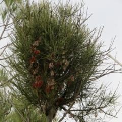 Amyema pendula subsp. pendula (Mistletoe) at Coree, ACT - 1 Oct 2021 by Christine