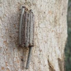 Clania ignobilis (Faggot Case Moth) at Holt, ACT - 1 Oct 2021 by Christine