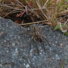Tasmanicosa sp. (genus) (Unidentified Tasmanicosa wolf spider) at Coree, ACT - 1 Oct 2021 by Christine