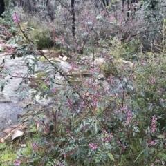 Indigofera australis subsp. australis (Australian Indigo) at Tennent, ACT - 1 Oct 2021 by BrianH