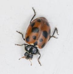 Hippodamia variegata (Spotted Amber Ladybird) at Googong, NSW - 28 Sep 2021 by WHall