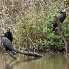 Phalacrocorax carbo (Great Cormorant) at Fyshwick, ACT - 1 Oct 2021 by RodDeb