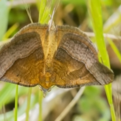 Anachloris subochraria (Golden Grass Carpet) at Googong, NSW - 2 Oct 2021 by WHall