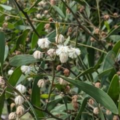 Acacia melanoxylon (Blackwood) at Talmalmo, NSW - 2 Oct 2021 by Darcy