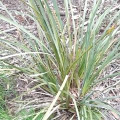 Lomandra longifolia (Spiny-headed Mat-rush, Honey Reed) at Bruce, ACT - 2 Oct 2021 by alell
