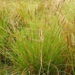 Carex appressa (Tall Sedge) at Fisher, ACT - 29 Sep 2021 by MatthewFrawley