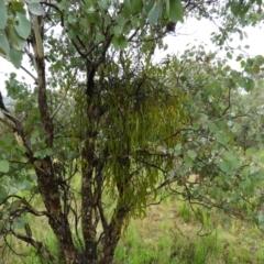 Amyema sp. (Mistletoe) at Fisher, ACT - 29 Sep 2021 by MatthewFrawley