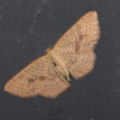 Epicyme rubropunctaria (Red-spotted Delicate) at Higgins, ACT - 1 Oct 2021 by AlisonMilton